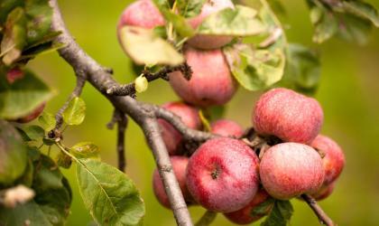 ©S.BUGNON - Barnas - Pommes ©S.BUGNON