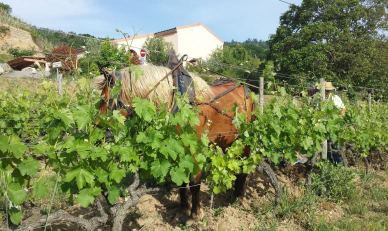 Domaine Guy Farge - Cheval dans les vignes