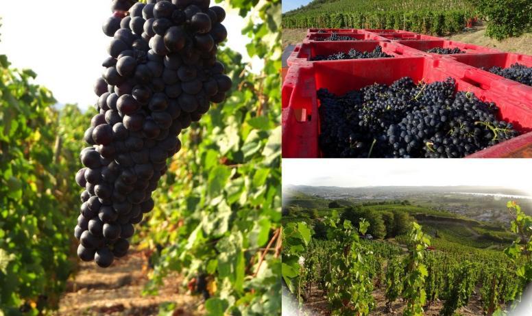 Domaine Blachon - Raisins