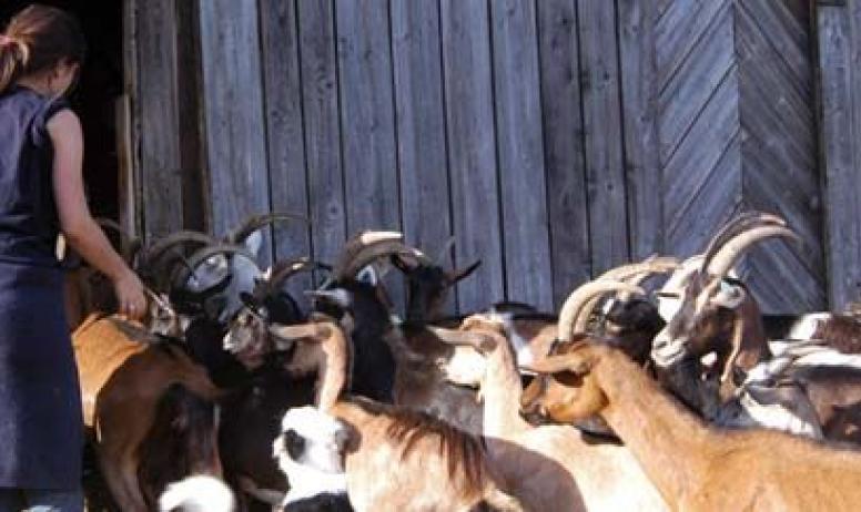 M. Boulon - La rentrée des chèvres