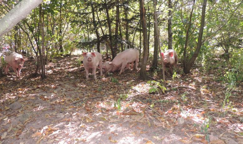 Cathy Monchal - Les cochons