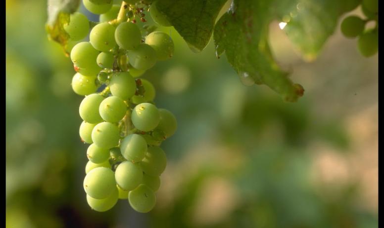 Hermitage Tournonais Tourisme - raisins blancs