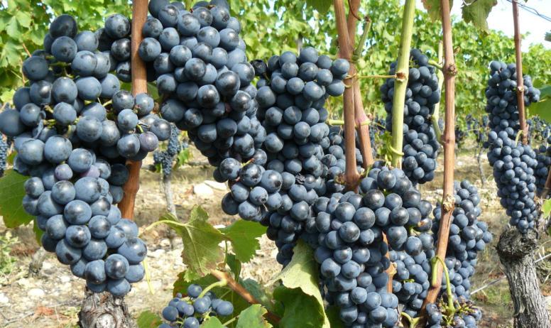 Domaine Gilles Robin - Grappes de raisin