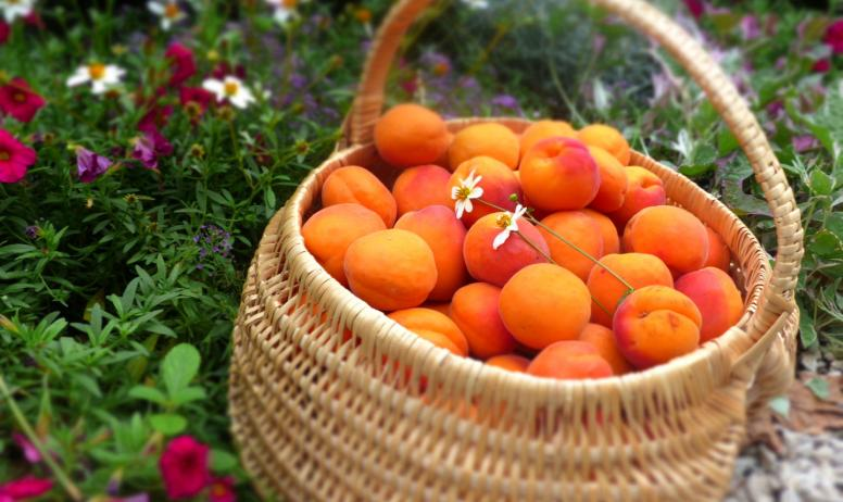 G.Roche - Panier d'abricots
