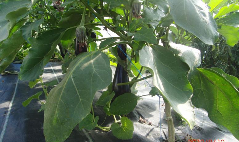 Ferme du Maninet - Plan d'aubergines