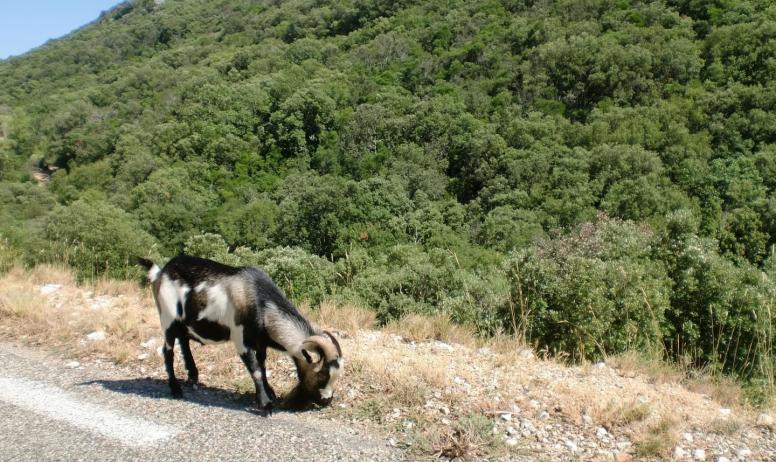 Gîtes de France - Chèvre sauvage dans les gorges de l'Ardèche
