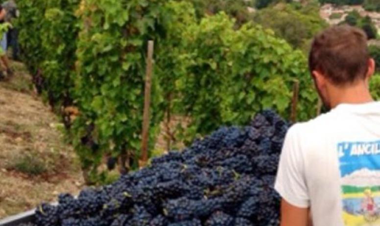 Domaine Jolivet - Les vignes et les raisins